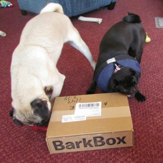 pugs-with-barkbox-612x612