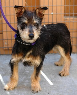 ... male breed wire hair terrier mix age 1 year 8 months hair color black